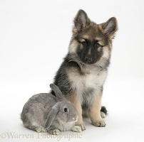 Alsatian pup with grey windmill-eared rabbit