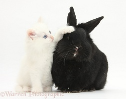 White kitten and black rabbit