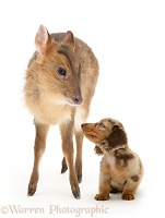 Muntjac deer fawn and Dachshund pup