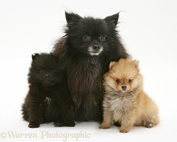 Black Pomeranian mother and pups