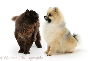 Pomeranian dog and chocolate cat