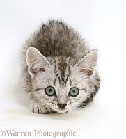 Silver tabby Bengal-cross kitten stalking