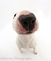 Miniature Bull Terrier looking up