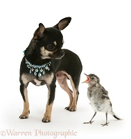 Black-and-tan Chihuahua bitch and baby wagtail