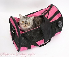 Exotic cat in a cat carrier
