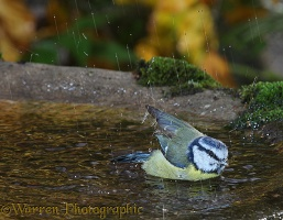 Blue tit bathing in rain
