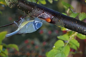 Blue tit drinking sap