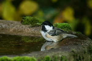 Coal tit bathing