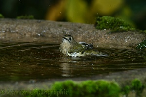 Goldcrest bathing