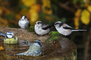 Long-tailed tits bathing
