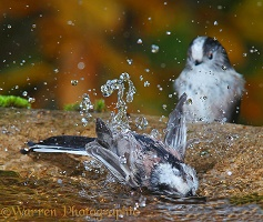 Long-tailed tits bathing 3 mod