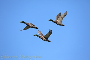 Mallard drakes in flight
