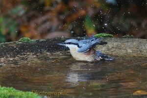 Nuthatch bathing