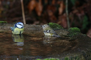 Blue tit and groldcrest sharing a bath