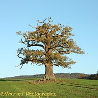 Ockley oak - Autumn