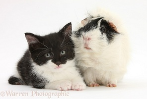 Black-and-white kitten with black-and-white Guinea pig