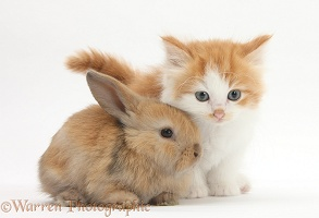 Ginger-and-white kitten baby rabbit