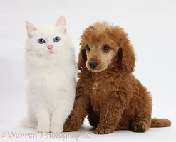 Apricot miniature Poodle pup and white kitten