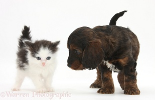 Cockapoo pup and black-and-white kitten