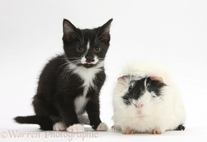 Black-and-white kitten and black-and-white Guinea pig