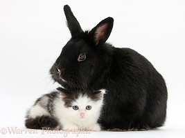 Black-and-white kitten and black rabbit