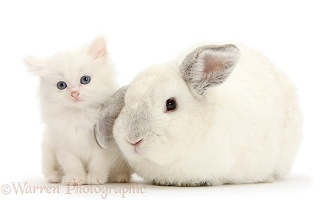 White rabbit and white kitten