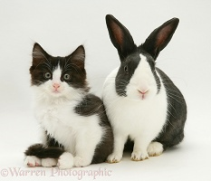 Black-and-white kitten and rabbit