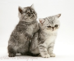 Smoke and silver Exotic shorthair kittens