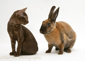Brown Burmese-cross kitten with sooty-fawn Rex rabbit