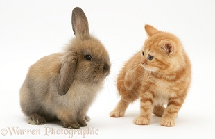 Ginger kitten and brown Lop rabbit