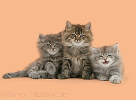 Three Maine Coon kittens, 7 weeks old