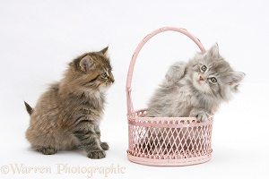 Maine Coon kittens, 7 weeks old, playing with a basket