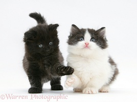 Black and black-and-white kittens