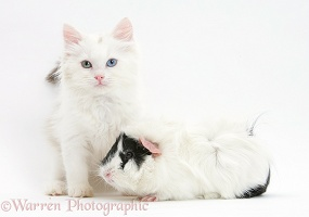 Birman x Ragdoll kitten and black-and-white guinea pig