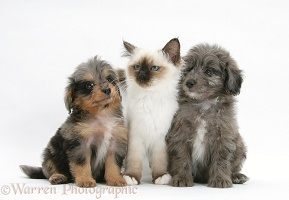 Sheltie x Poodle pups and Birman kitten