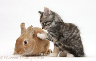 Ginger rabbit and Maine Coon-cross kitten, 7 weeks old