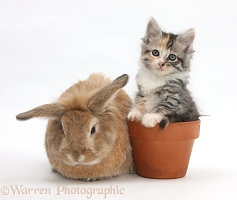 Rabbit and Maine Coon-cross kitten in flowerpot
