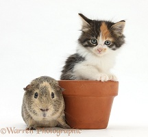 Guinea pig with Maine Coon-cross kitten in flowerpot