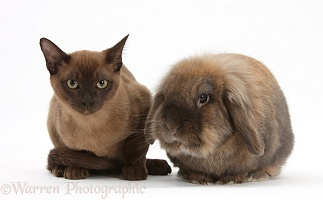 Young Burmese cat and Lionhead rabbit