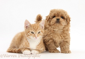 Peekapoo pup and ginger kitten
