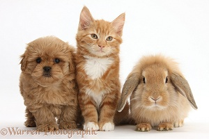 Peekapoo pup, Ginger kitten and Sandy Lop rabbit