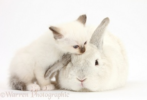 Colourpoint kitten and white rabbit
