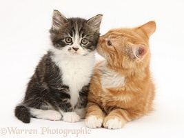 Ginger and Tabby-and-white kittens