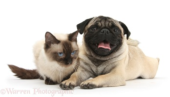 Fawn Pug and Birman-cross cat