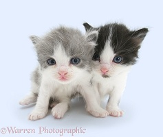 Grey-and-white and black-and-white little kittens