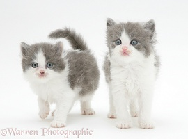 Grey-and-white kittens