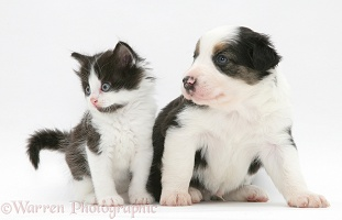 Border Collie pup and black-and-white kitten