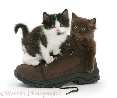 Black-and-white kitten with Chocolate kitten in a shoe