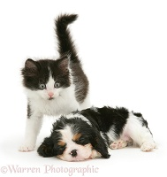 Kitten and sleeping King Charles pup