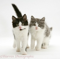 Black-and-white and grey-and-white Persian-cross kittens